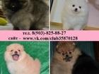 Фото в Собаки и щенки Продажа собак, щенков Шпица чистокровных и не чистокровных щеночков в Ярославле 8500