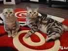 Просмотреть фото Продажа кошек и котят британский мраморный -чемпион породы -вязка 40480248 в Ярославле