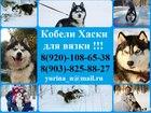 Просмотреть изображение Вязка собак Красивые черно-белые кобели хаски для вязки 45185912 в Ярославле