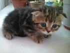 Котята вислоухие и прямоухие малыши