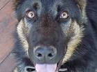 Пропала немецкая овчарка 2,5 года в оранжевом ошейнике в Глебовского по Даниловской трассе