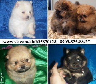 Фотография в Собаки и щенки Продажа собак, щенков ШПИЦА чистокровных красивеееенных щеночков в Ярославле 0