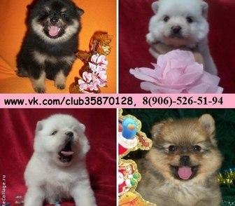 Фото в Собаки и щенки Продажа собак, щенков Шпица чистокровных и не чистокровных красивеееенных в Ярославле 0