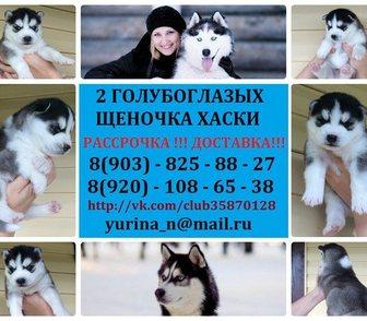 Фотография в Собаки и щенки Продажа собак, щенков ХАСКИ 2 красивееенных щеночка с яркими голубыми в Ярославле 0