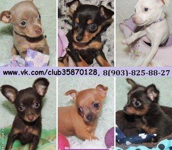 Фото в Собаки и щенки Продажа собак, щенков Той-терьера чистокровных красивенных щеночков в Ярославле 0