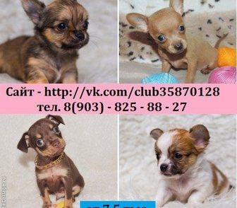 Фотография в Собаки и щенки Продажа собак, щенков ЧИ-ХУА-ХУА чистокровных щеночков и чистокровных в Ярославле 0