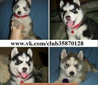 Изображение в Собаки и щенки Продажа собак, щенков ХАСКИ чистокровных породных щеночков - продам в Ярославле 0