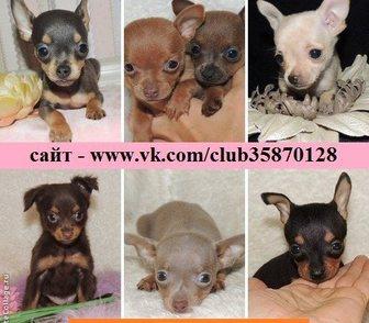 Фотография в Собаки и щенки Продажа собак, щенков ТОЙ-ТЕРЬЕРА красивееееенных щеночков разных в Ярославле 0