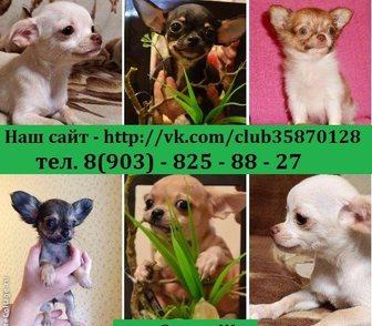Фото в Собаки и щенки Продажа собак, щенков ЧИХУА-ХУА красивеееееннных чистокровных и в Ярославле 0