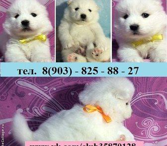Фото в Собаки и щенки Продажа собак, щенков Самоедской лайки, красивенных щеночков в в Ярославле 0