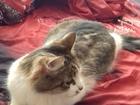 Свежее изображение Отдам даром - приму в дар Отдам отличную кошку даром в хорошие руки 40562415 в Электростали