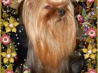 Изображение в   Красивые высокопородные декоративные щенки в Югорске 25000