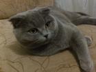 Фотография в Кошки и котята Вязка Шотландская вислоухая кошка без документов в Юрге 0