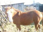 Скачать бесплатно foto Другие животные продам кобылу полутяж 33642622 в Калачинске