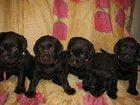 Фото в Собаки и щенки Продажа собак, щенков Продаются шоколадные лабрадорчики рожденные в Калининграде 35000