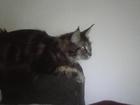 Уникальное фотографию  Ищу котика мейн куна для кошечки мейн кун 38257971 в Калининграде