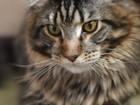 Фото в Кошки и котята Вязка Ищем первую невесту, можно без документов. в Калининграде 0