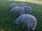 Скачать изображение Другие животные Овцы,баран оптом Упитанные, Срочно, Не дорого, 66596040 в Калининграде