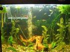 Скачать изображение Аквариумные рыбки Продам Гуппи 33816239 в Калуге