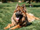 Увидеть фотографию Вязка собак Вязка 35465730 в Калуге