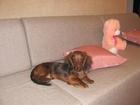 Уникальное foto Вязка собак Вязка такса кроличья длинношерстная,кобель 64352815 в Калуге