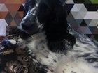 Смотреть фото Вязка собак Ищем кобеля охотничьего русского спаниеля 66367975 в Калуге