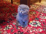Шотландские вислоухие котята Ожидают знакомства три очаровательные вислоухие кош