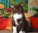Фото в Кошки и котята Продажа кошек и котят Питомник Мasson-Сlub предлагает двух очаровательных в Калуге 20000