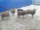 Новое foto  овцы , барашки продаются 37359043 в Ижевске