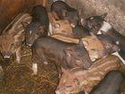 Увидеть foto Другие животные Продам поросят 33385293 в Каменск-Уральске