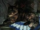 Изображение в Кошки и котята Вязка Очаровательная кошечка шотландка ищет вислоухого в Камышине 0