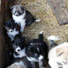 Продам щенков сибирской Хаски и щенков Русско европейской лайки