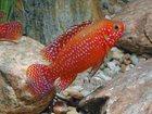 Скачать фотографию Аквариумные рыбки ПРОДАМ МАЛЬКОВ 33938120 в Кандалакше