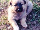 Фото в Собаки и щенки Продажа собак, щенков Отдам в хорошие руки щенка - среднеазиат в Казани 0