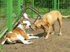 Новое фотографию  Дрессировка собак в Казани 34333861 в Казани