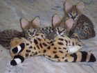 Смотреть фото Другие животные питомник сервалов 34532003 в Казани