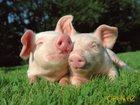 Свежее фото Другие животные Поросята и свиньи оптом, 34687333 в Казани