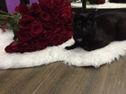 Скачать бесплатно фотографию Вязка Умный и красивый кот ищет невесту в Казани - Вязка кошек (случка) в Казани на kazan, buyreklama, com, 38714324 в Казани