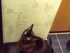 Уникальное фото Вязка кошек Кошечка Бурманской породы приглашает познакомиться котика аналогичной породы 42167707 в Казани
