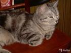 Фотография в Кошки и котята Вязка МОЛОДОЙ КРАСИВЫЙ КОТ- БРИТАНЕЦ. ОЧЕНЬ КРАСИВОГО в Кемерово 1000