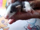 Фотография в Домашние животные Грызуны Продам крысят 1 месяц в Кемерово 100