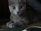 Фотография в Кошки и котята Вязка Взрослая неопытная кошка ищет кота для вязки, в Кемерово 0