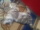 Увидеть изображение  Вязка Кошечки 39018546 в Кемерово