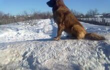 Кавказская овчарка 2,5 г, ищет кобеля