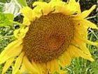 Изображение в Рыбки (Аквариумистика) Растения Реализуем семена подсолнечника: НК Брио (Сингента), в Киеве 1