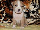 Фотография в Собаки и щенки Продажа собак, щенков Питомник Тайгер ЛАНД предлагает к продаже в Чите 25000