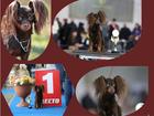 Фотография в Собаки и щенки Продажа собак, щенков Продаются высоко породные щенки той терьера в Москве 0