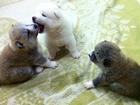 Фотография в   Продаются щенки Акита-ину. Рождены 15. 11. в Кирове 50000