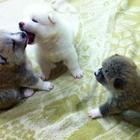 Продаются прелестные,перспективные щенки Акита-ину