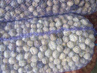 Свежее изображение  Продам Грецкий Орех в скорлупе! Новый Урожай 2015 33696771 в Кисловодске